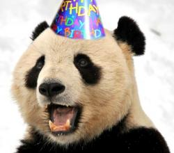 Giant Panda Celebrates B'day With Cake!