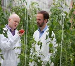 Tomato's Genome Sequence Finally Cracked!