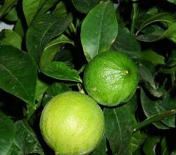 Bergamot Orange
