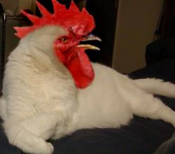 Funny Picture - Cock's Head In Cat's Body