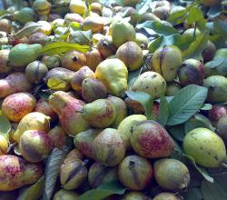 Guavas In Pakistan