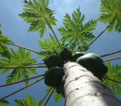 Indian Papaya Tree