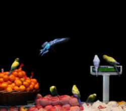Parakeets On Fruits