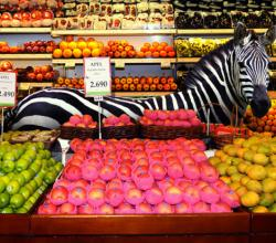 Zebra Devours Fruits