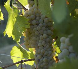 Grechetto grapes