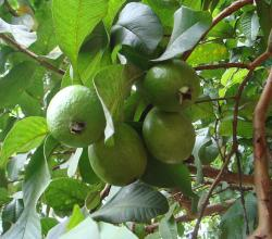 Guava Fruits with Leaves