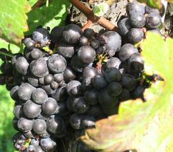 Riesling Black Grapes