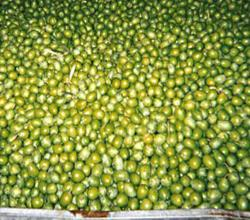 Sevillano Olives | Learn About the Sevillano Olive