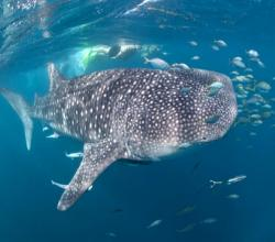 3 Islands Whale Shark Dive Exmouth WA Holiday & Travel Guide