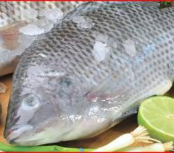 All about Tilapia