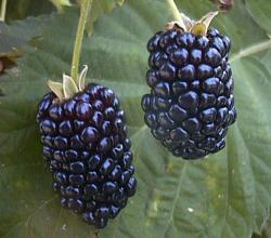 Blackberry - An Ancient Fruit