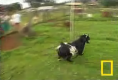 Fainting Goats
