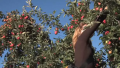 Tips To Pick Apples