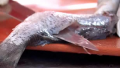 Tips To Fillet Fish Video