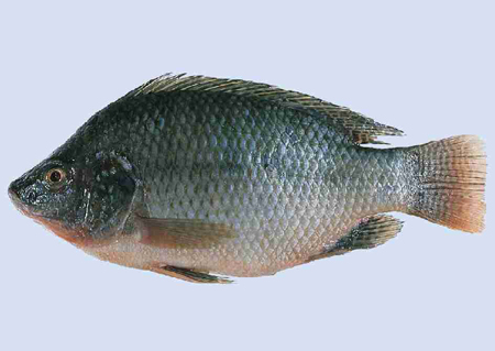 Choose fresh Tilapia when baking Tilapia with lime