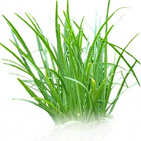 How To Dry Chives | ifood.