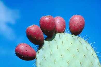 How to eat a cactus pear - removing its spines.