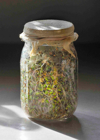 Process of sprouting beans in a jar for 5 days
