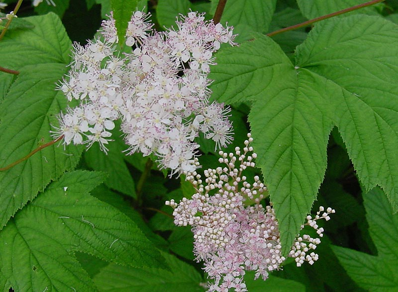 Meadowsweet is a natural supplement
