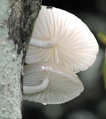 Yummy Edible Mushrooms have an interesting history as food