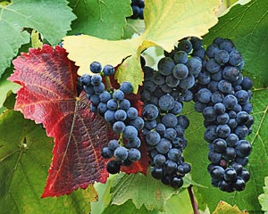 Growing table grapes at home