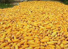 corn after harvest