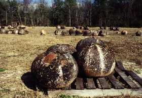 Bushel gourds set up on pellets for drying - observe the heavy mold growth on each of the drying bushel gourd