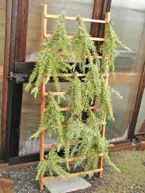 Bunches of rosemary being dried over a ladder