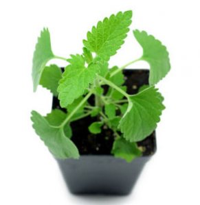 Catnip leaf benefits