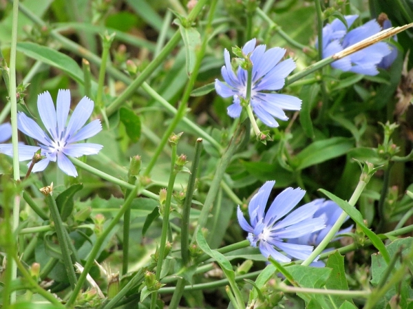 Chicory leaf benefits