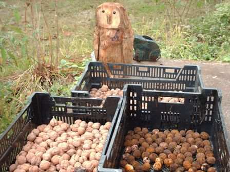 Drying walnuts