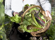 Growing Radicchio