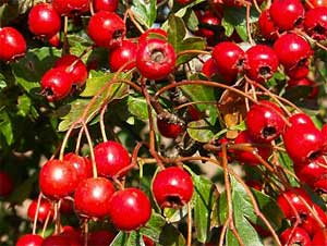 Medicinal Uses Of Hawthorn