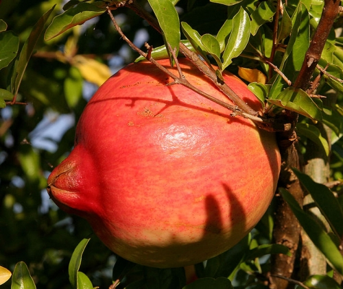 Health Benefits Of Pomegranate Concentrate