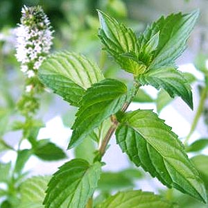 Drink peppermint tea for acne treatment