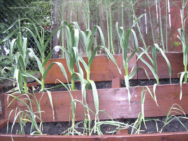 how to grow elephant garlic
