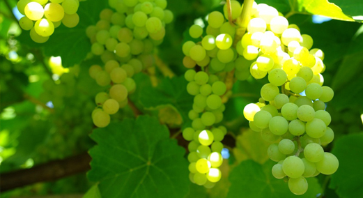 There are many health benefits of green grapes