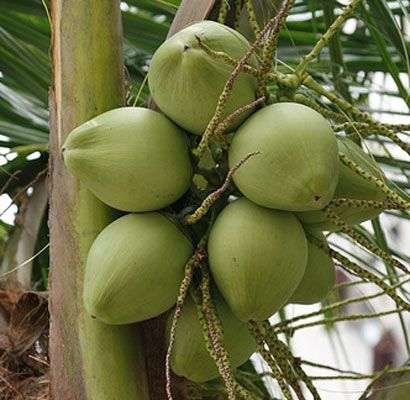 Young coconut water is very beneficial for health