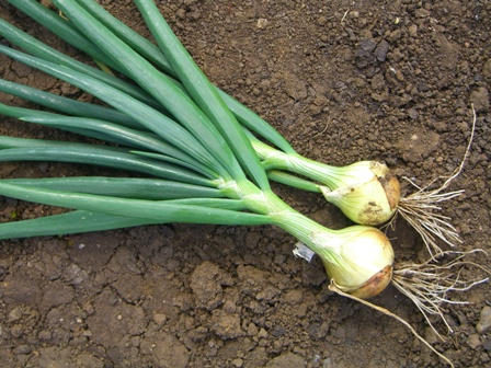 Onion Cultivation in confined spaces
