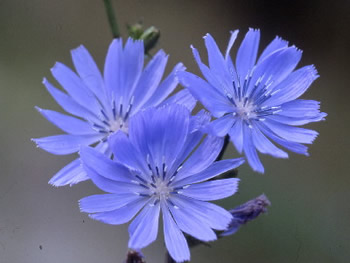 Chicory side effects