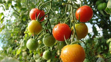 growing-organic-tomatoes