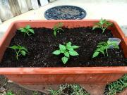 Planting Padron Peppers