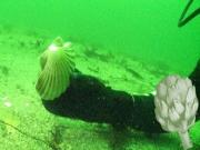 Understanding Dived Scallops