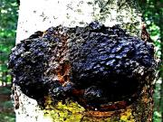 How to Find and Harvest Chaga Mushroom