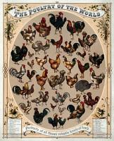 Top 10 sustainable chicken varieties