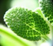 Sage Medicinal Uses -- Sage Leaf