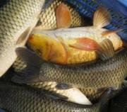 Mercury poisoning is one of the most common side effects of fish