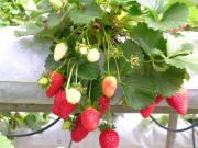 how to eat strawberries?- Bite into the hearty fruit