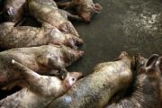 Dead pigs are turning up in China river.
