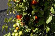 growing-hanging-tomatoes